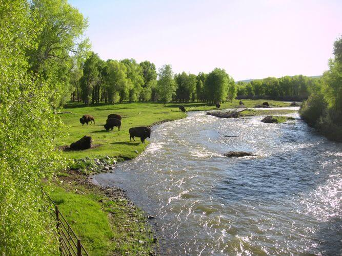 Buffalo on the river